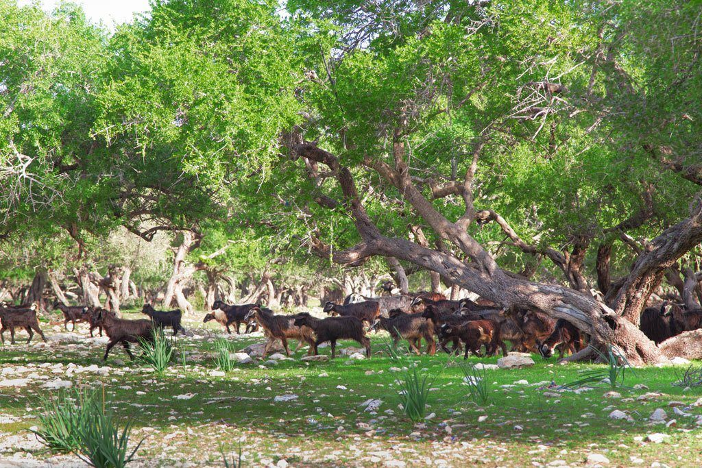 Goats run underneath the Argan trees.