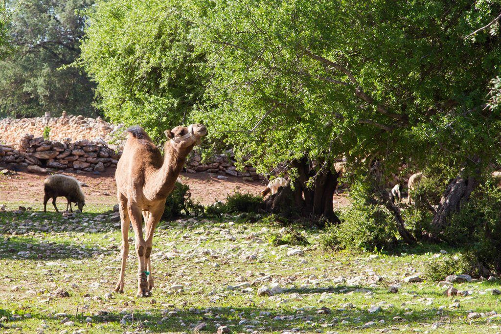 Argan trees, goats, and camels.