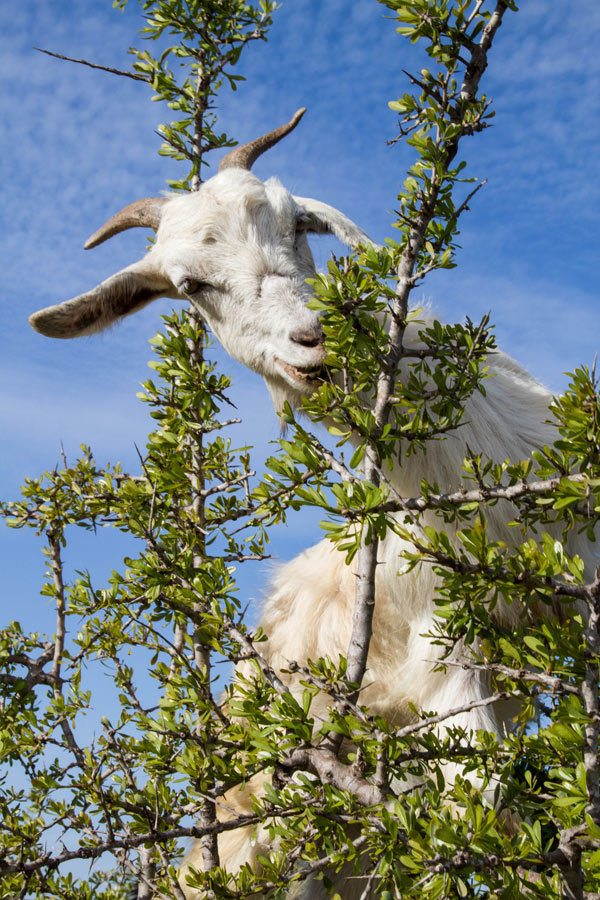 Argan goat climbing in tree