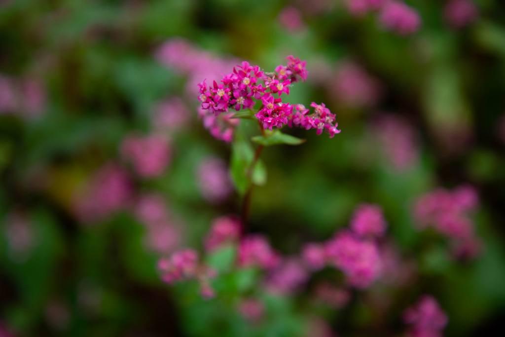 Red Buckwheat flower, Minowa Akasoba no Sato, Japan