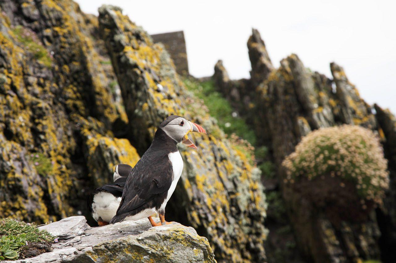 Puffins are everywhere on Skellig Michael, and it's only one of the reasons you would want to go. Ireland