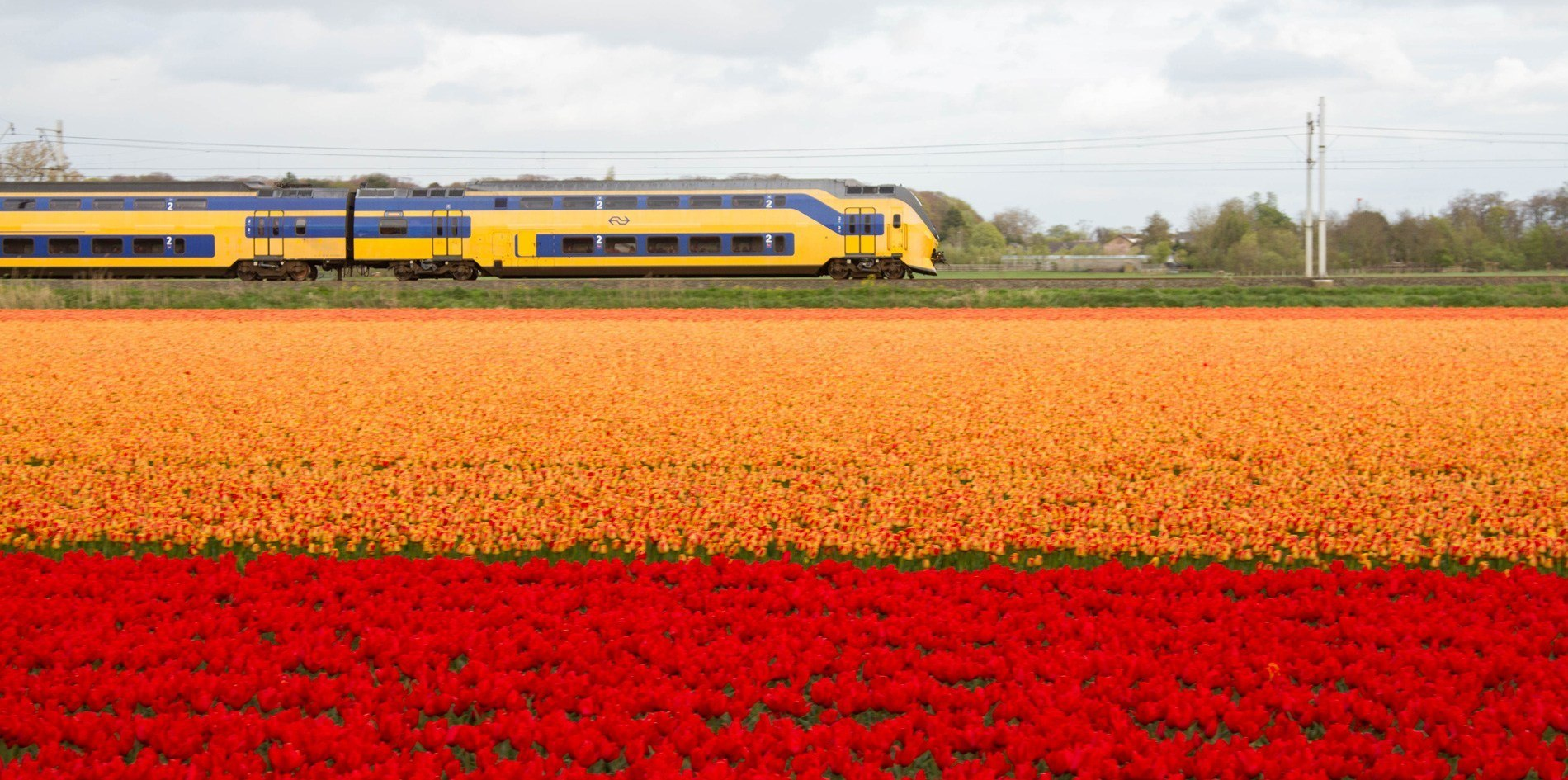 Train rumbles past the vibrant tulip fields in the Netherlands.
