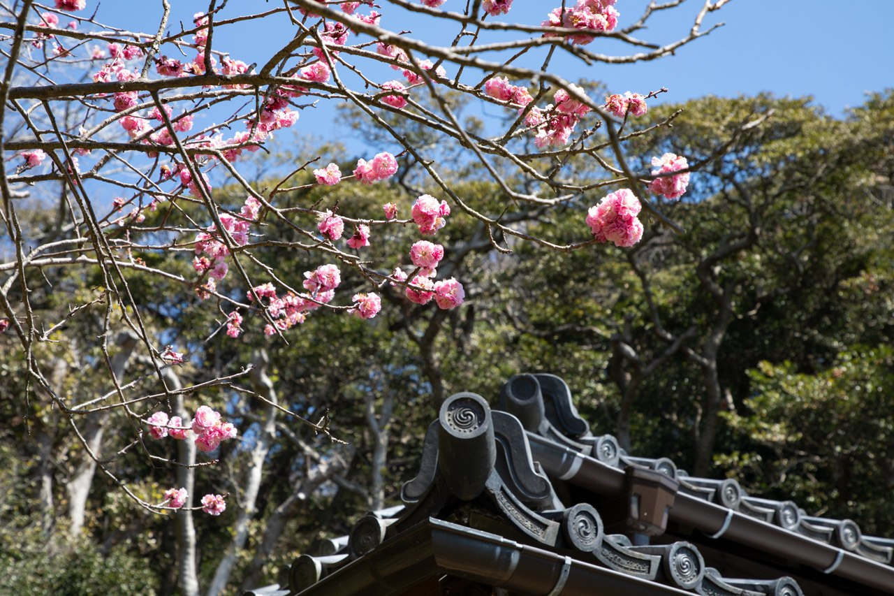 When is the best time to visit Japan? Spring with cherry blossoms! Like these over a traditional roof.