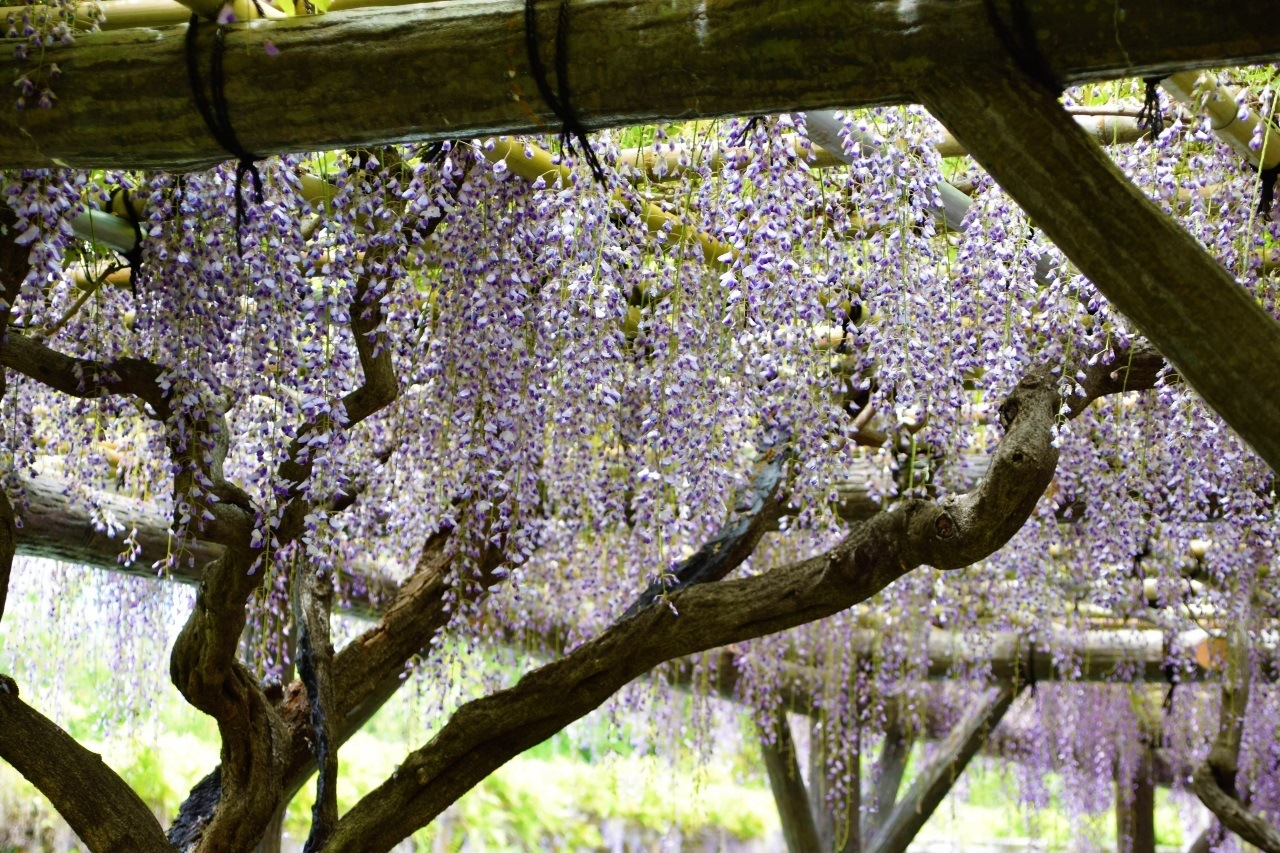 The spring season in Japan brings wisteria to the Kameido Tenjin Shrine.