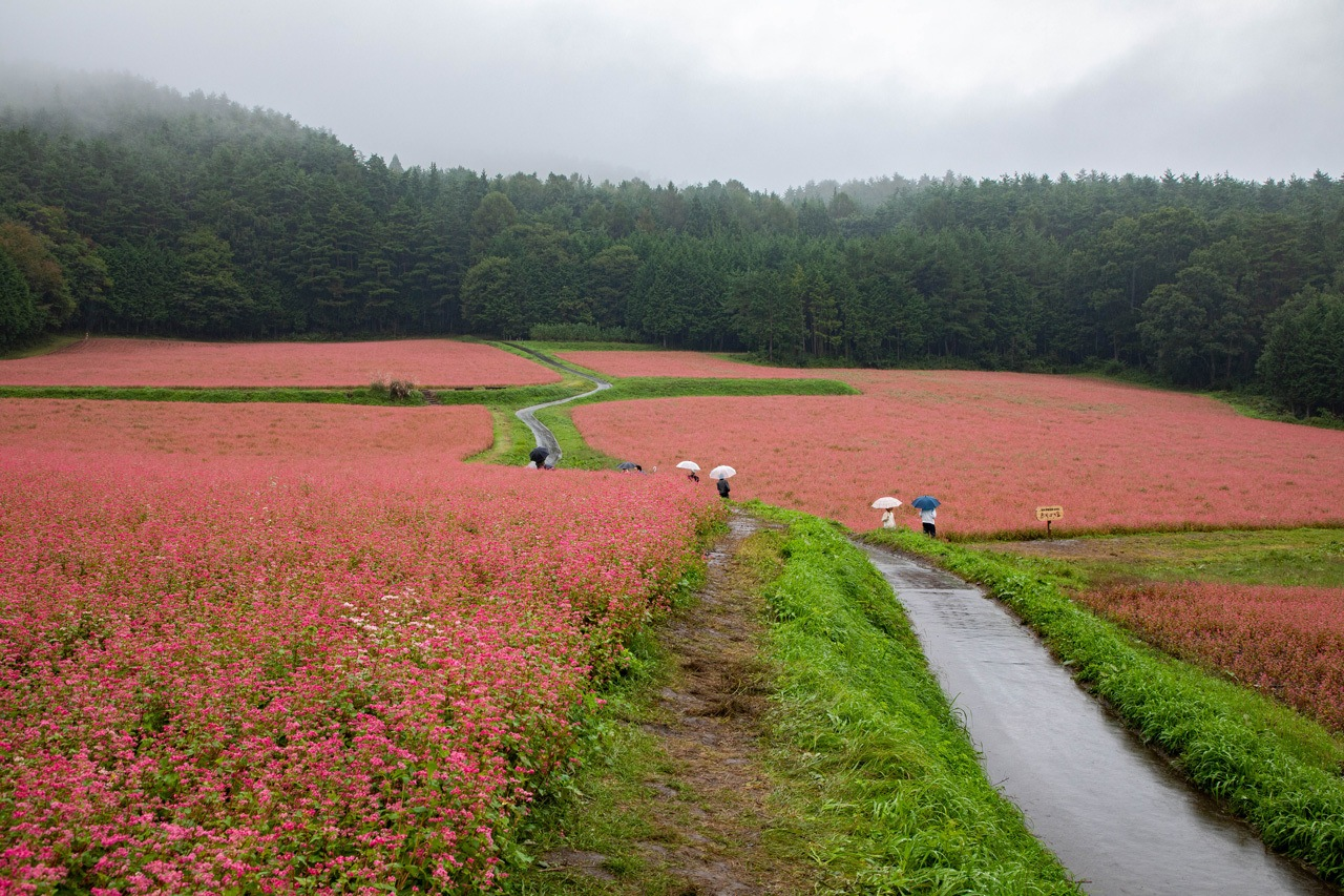 Autumn in Japan sees the fields of red buckwheat bloom in Minowa.