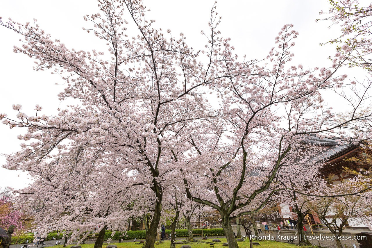 Things to do in Japan in Spring include enjoying the cherry blossoms in Kyoto.