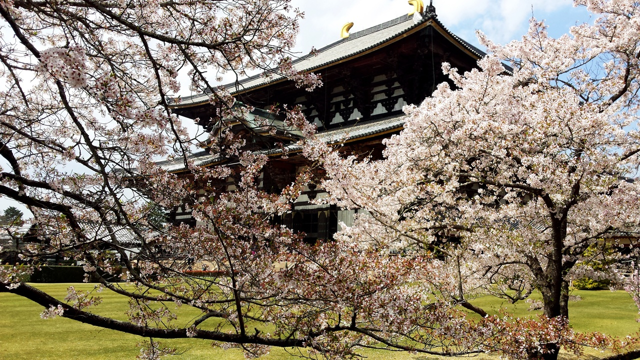 Spring in Japan - Nara castle surrounded by cherry blossoms.