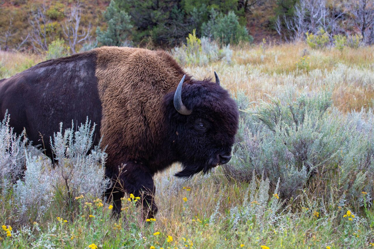 Bison. One of the many types of wildlife you can see in North Dakota.