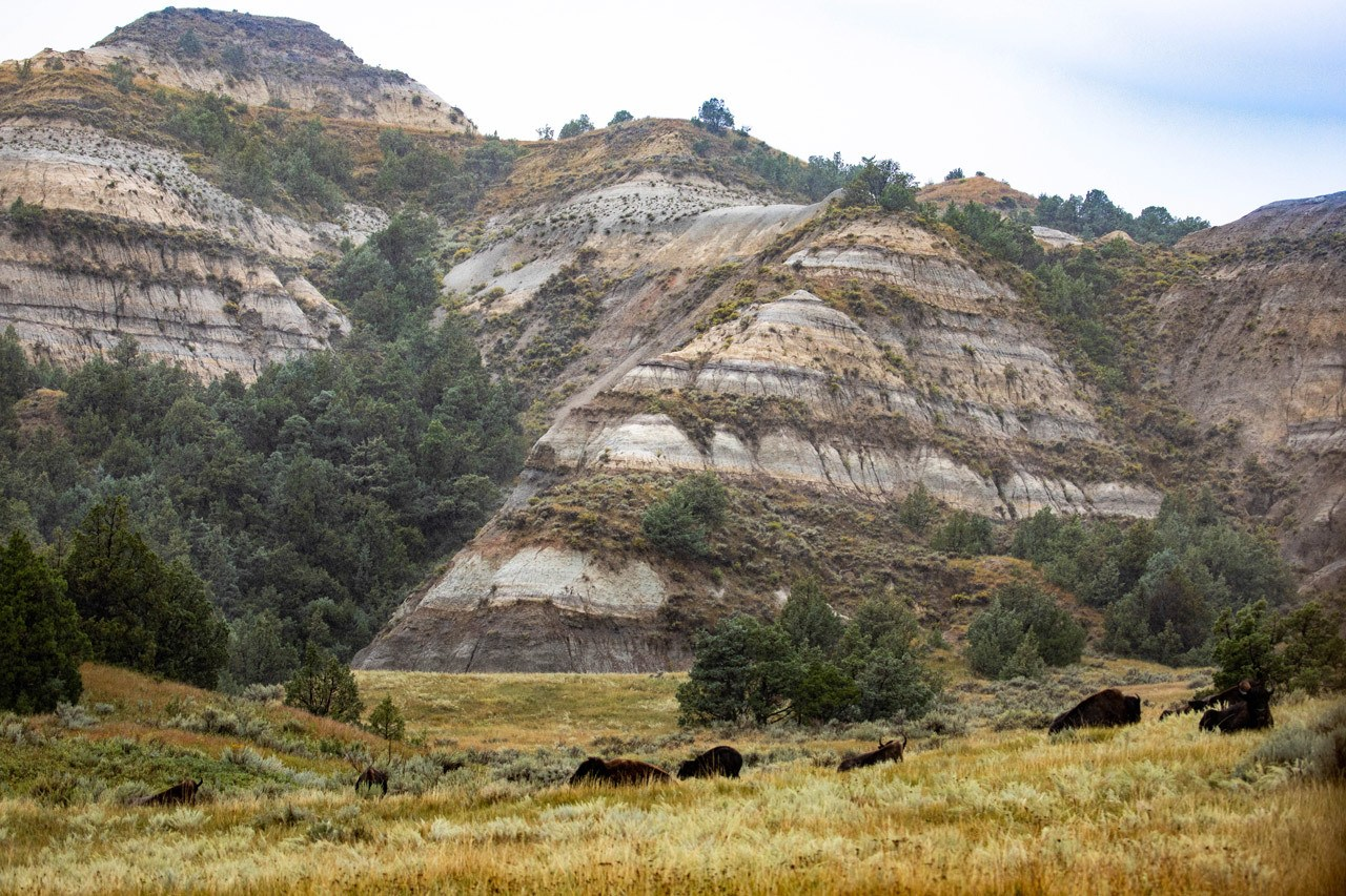 Bison graze in Theodore Roosevelt National Park, #1 on our bucket list.