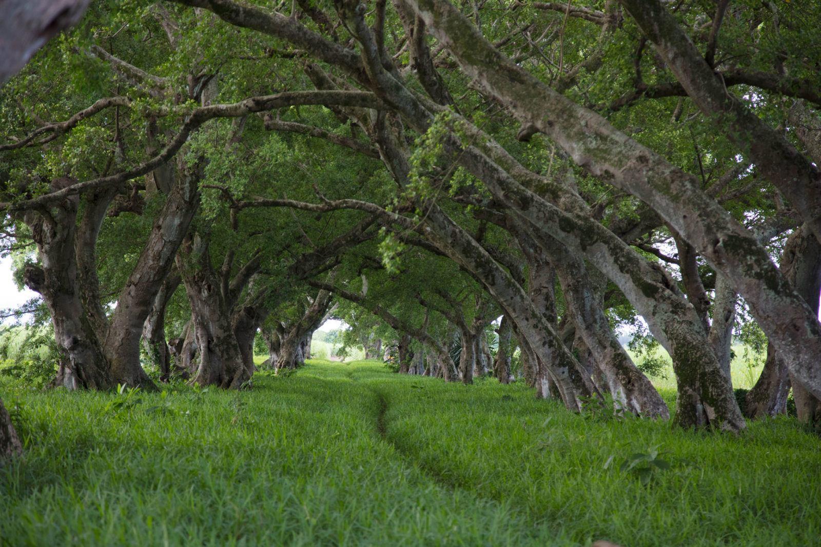 Туннель для деревьев недалеко от аэропорта. Чем заняться на Маврикии Чем заняться на Маврикии – Путешествие к звезде и ключу Индийского океана Tree Tunnel Mauritius 1600x1066
