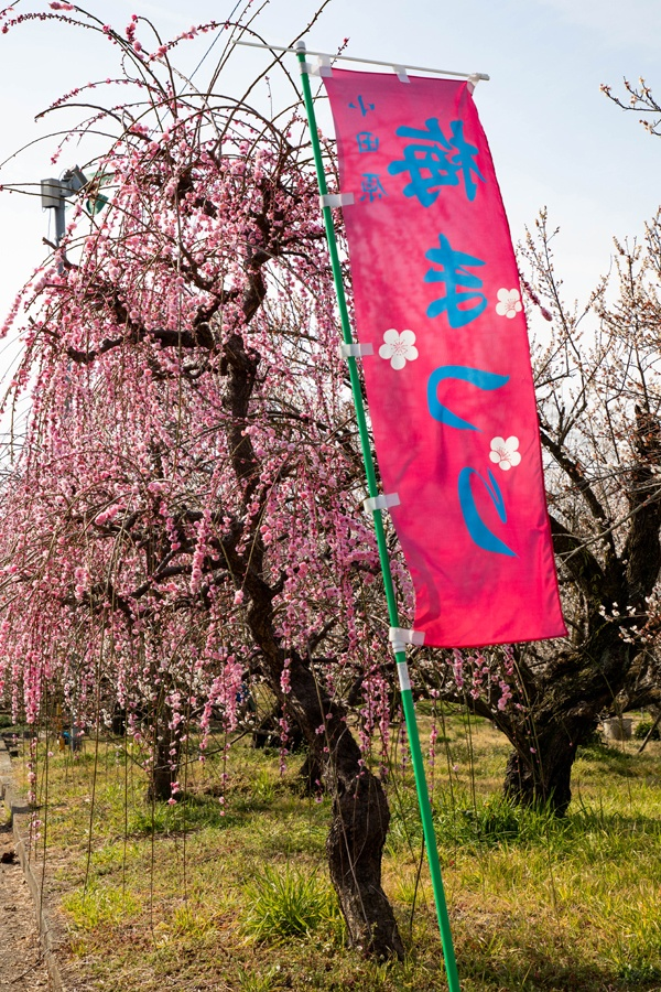 Plum tree and in front a banner announcing the Odawara plum festival.
