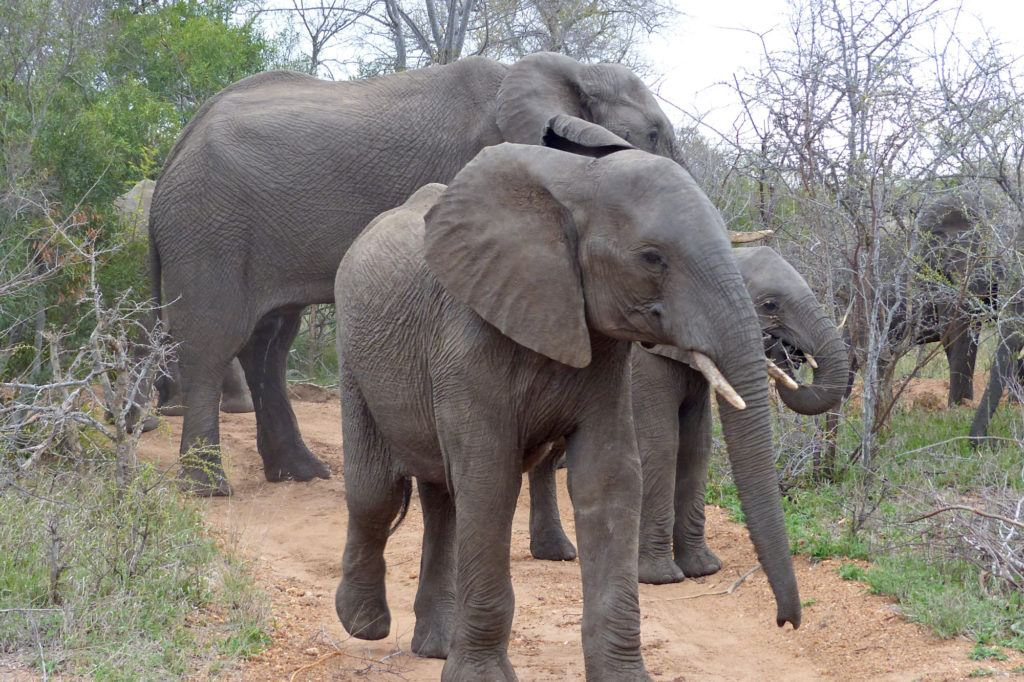 A parade of elephants walking through the brush knocking down small trees as they go and munching on the bark.