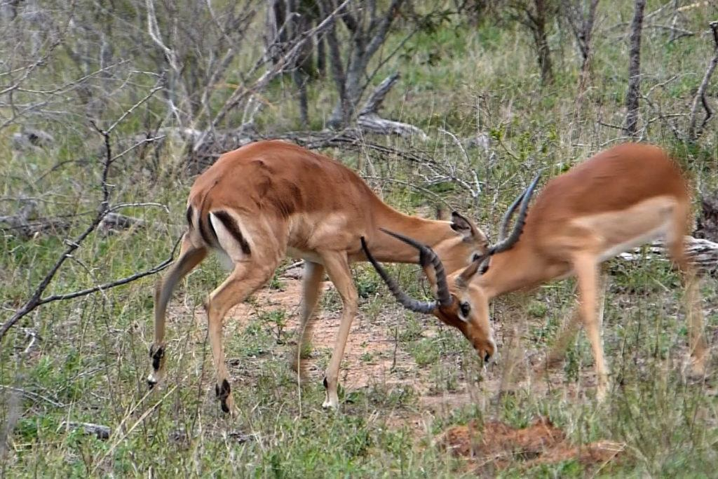 A pair of young impalas clash horns in a play-fight.