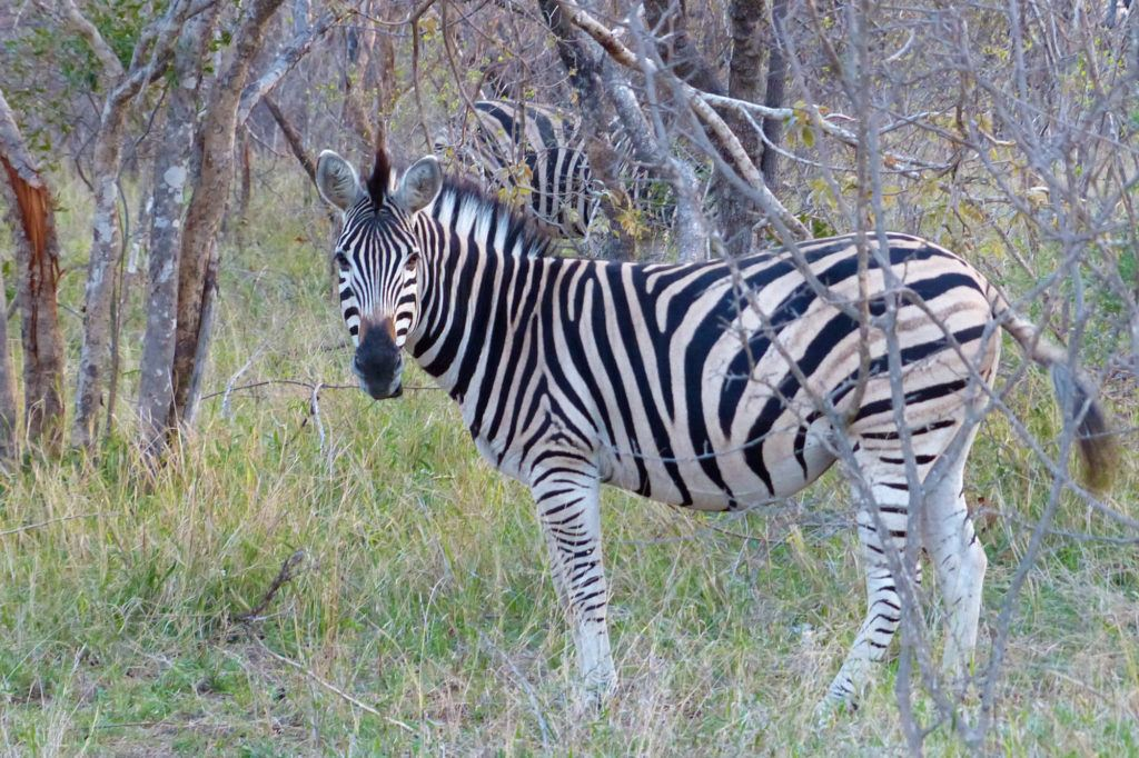 A zebra poses for a photo while wandering through a brushy area.