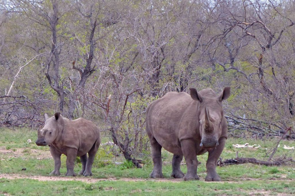 No safari in Africa would be complete without seeing rhinos like this adult and baby white rhino.