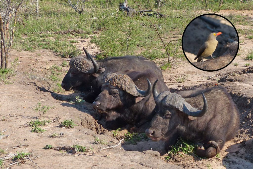 Cape Buffalo lying in the mud to keep cool while being groomed by birds appropriately called red-billed oxpeckers.