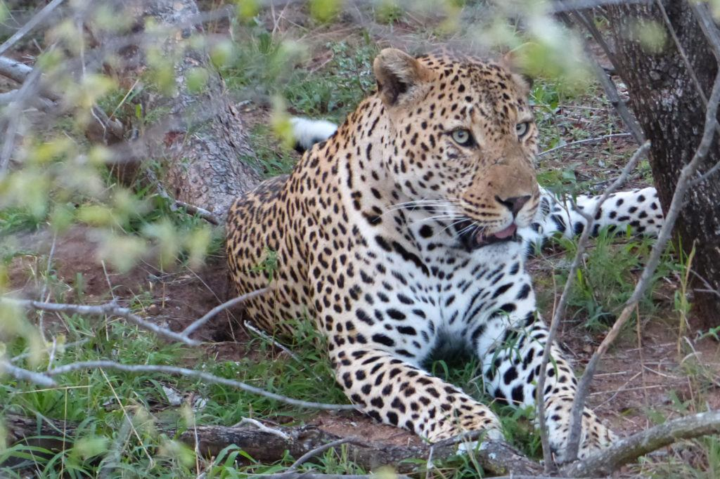 A gorgeous leopard calmly laying under a nearby tree licking its fur; of the big 5 in Africa, leopards are the favorite.