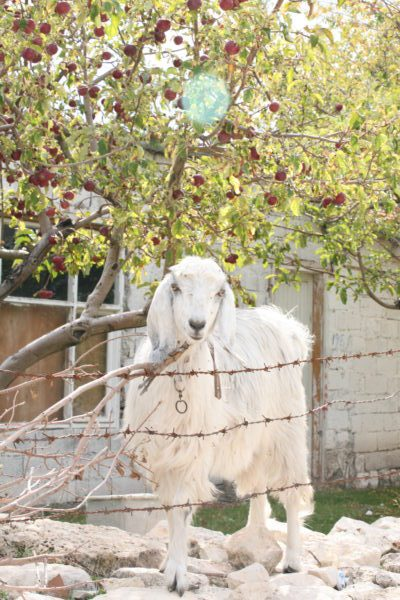 Goats greet us in Uzuncaburc.