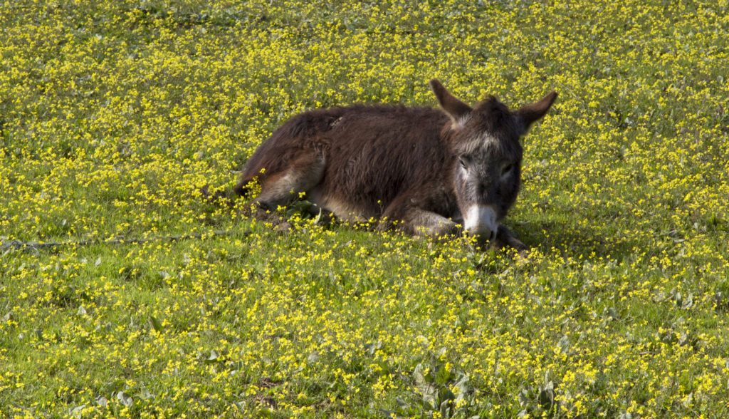 A cute donkey lies in a field of yellow flowers.